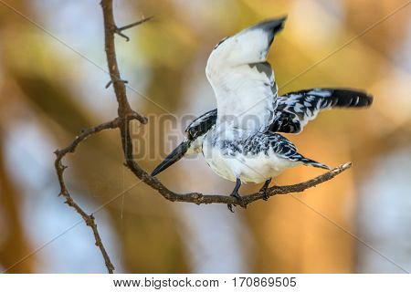 Beautiful pied kingfisher or Ceryle rudis perching on a twig