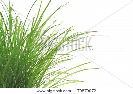 growing cat grass isolated against white background