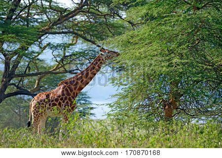 Savanna landscape with ugandan giraffe or Giraffa camelopardalis rothschildi
