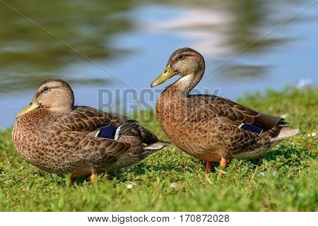 Two Mottled Duck (Anas fulvigula) a rest on the lake shore