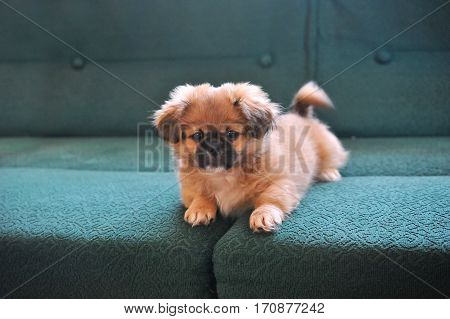 Dressed white Pekingese. Dog fashion. Beautiful small dogs dressed and posing like model.