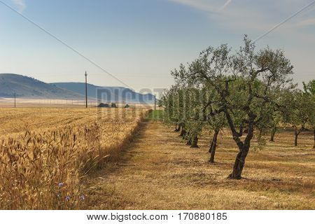 RURAL LANDSCAPE SUMMER. Hilly contryside with cornfield and olive grove.In the background the Murge plateau (Alta Murgia National Park).Italy,Apulia.