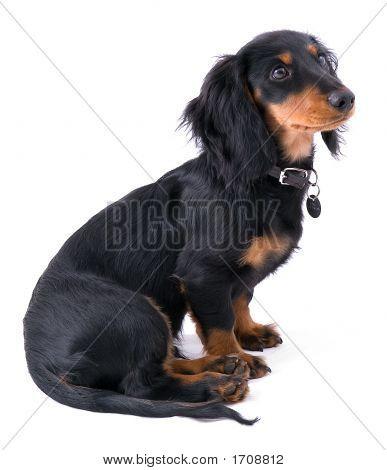 Dachshound Puppy Sitting