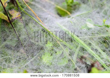 Dew on spider web over matted ground cover