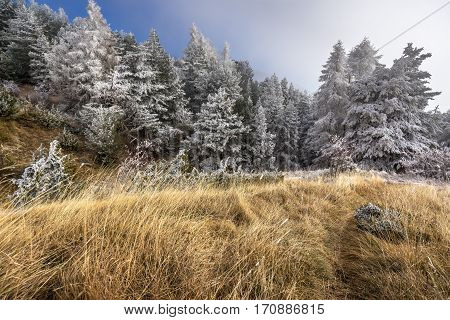 Sapet forest in winter with frost covered trees. Moissiere Pass Hautes Alpes Ecrins National Park Alps France