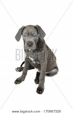 Gray Cane corso puppy isolated on a white background