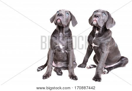 Two funny Gray Cane corso puppy isolated on a white background