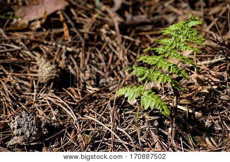Young Fern Leaf In The Forest