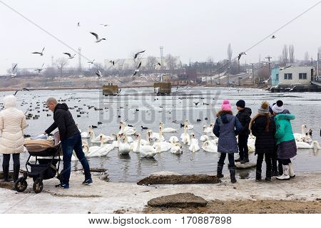 ODESSA UKRAINE - February 2 2017: White swans wild ducks and gulls swimming in sea water in winter. Fighting seagulls beg for food from people. Birds wintering cold. People conservation of birds