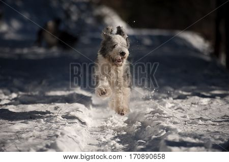 Playful Bearded Collie running in the snow short coat