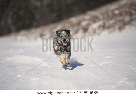 Australian Cattle Dog (ACD) running in snow. He is a medium-sized short-coated dog his colour makes him old look. He has ears back and cought in motion.