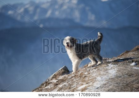 Happy purebred dog bearded collie enjoying wind on mountains. He is trimmed has short coat blue with white markings.