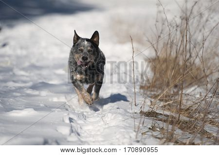 Blue heeler australian cattle dog running in deep snow. It is all white of snow and some dry grass dog is showing happiness. He is doing snow track.