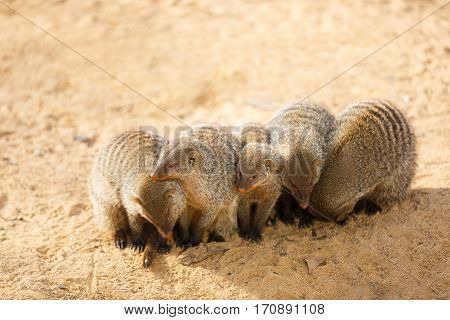Pack of mongooses in the sand at sunny day
