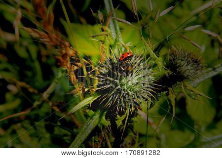 In a very prickly thistle hides a beetle