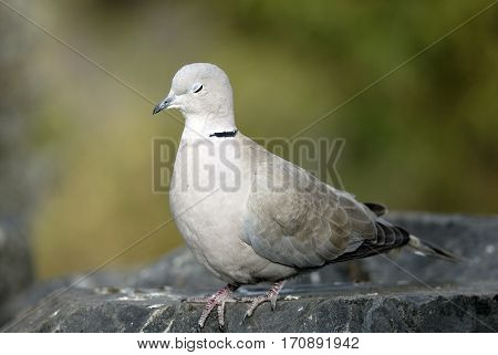 Close up portrait of a white dove