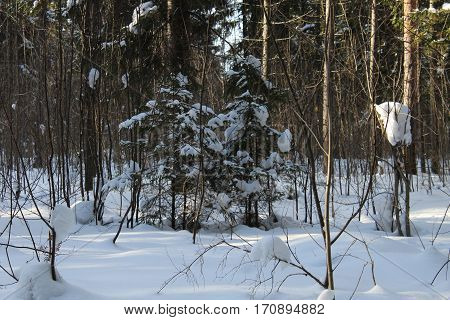 Little fur trees in winter forest photo