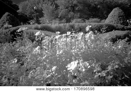 Flowers in Infrared Black and White Full Spectrum Camera