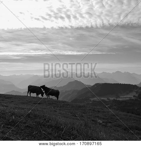 Summer morning in the Swiss Alps. Two cows on top of mount Rigi and mountain ranges.