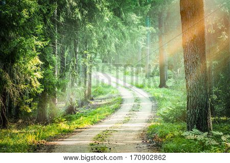 forest trees pine growth road straight woodlands sunlight sun nature green woods pine fog beam sunbeams morning sunrise - stock image