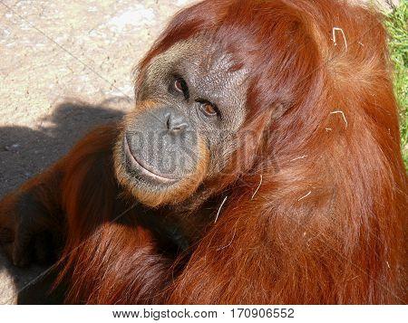 Orangutan, Great Ape, Pongo, Ponginae, Gigantopithecus, Primate