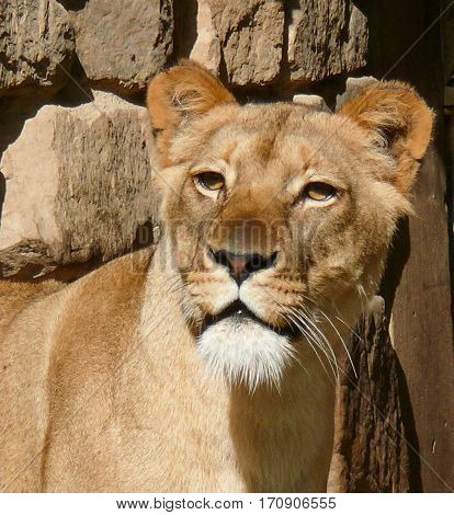 Lioness, Female Lion, Panthera, Felidae, Mammal, Endangered