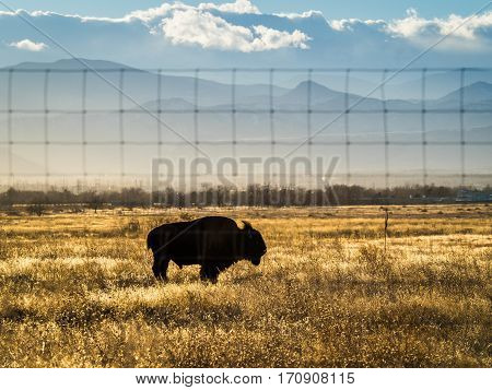 Single bison in silhouette on Colorado prairie