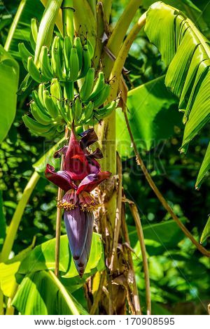 Tropical green Fillipino plantains or cooking bananas growing on a tree with the flowering red heart (inflorescence) of the plant. poster