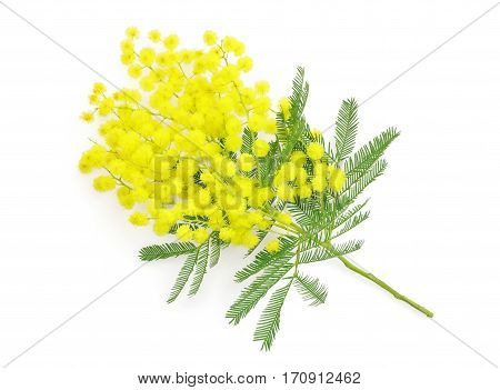 Wattle flower or mimosa branch symbol of 8 march women international day on white background