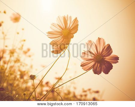 Close up image of soft focus cosmos flower on vintage sepia tone background