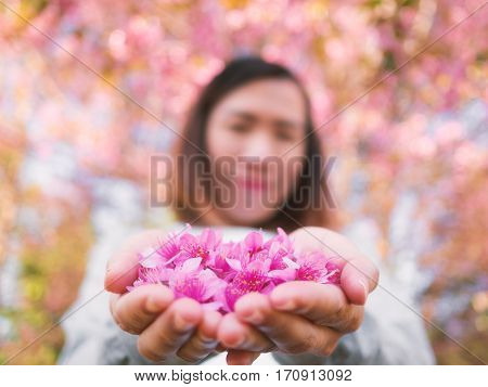 Pink Wild Himalayan Cherry flowers (Sakura of Thailand) on woman hands with blurred face and bokeh background
