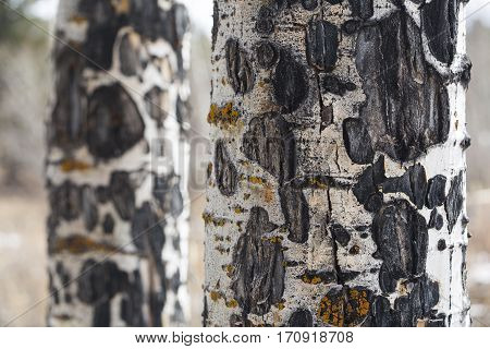 Aspen Tree Bark Scars Colorado Mountain Forest
