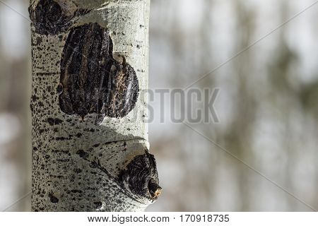 Heart Shaped Aspen Tree Bark Scar Valentine's Day
