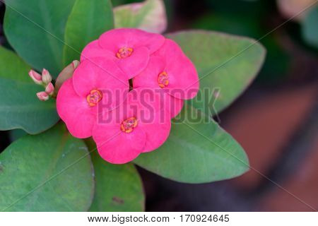 Close up of pink Crown of Thorns flowers (Euphorbia milii Christ plant Christ thorn).