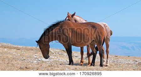 Red Roan Band Stallion with his Bay Mare on Sykes Ridge in the Pryor Mountains Wild Horse Range on the Wyoming Montana state line USA