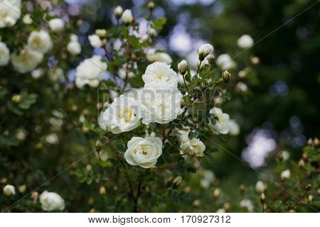 Beautiful bush with white flowers of wild english rose in the garden, lovely landscape of nature , shallow dof.