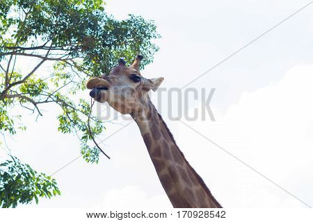 Giraffe with a long neck are eating tree leafs