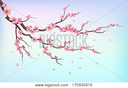 Japan sakura branches with cherry blossom flowers and falling petals isolated on white background vector illustration. Branch of cherry blossoms on blue background