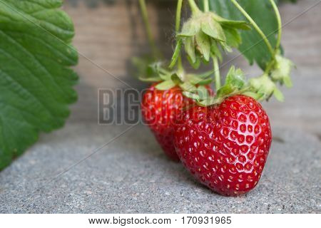 A couple of juicy strawberries ripening over the garden wall on a paver walkway