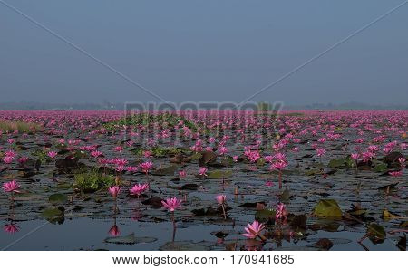 UDORNTHANI THAILAND - 2016 Dec 10: Sea of red lotus whit blue sky Red lotus sea in Udon Thani Thailand.