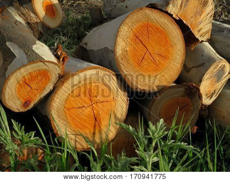 Cut wood (Eucalyptus tree trunks and branches) stacked, viewed on end with growth-rings closeup