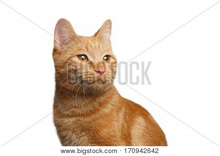 Portrait of Satisfied Ginger Cat on Isolated white background, front view