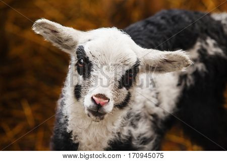 Sheep with black circles around eyes and on cheeks, pink nose and straight smooth ears. Coat on mutton is black and white and slightly curled. Sad devoted look, smart eyes, funny domestic pet