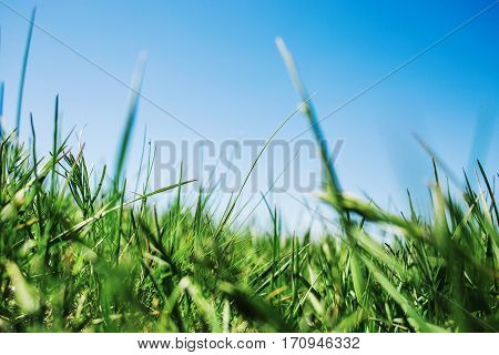 Juicy green grass on blue sky background. Lots of beautiful green blades of grass on clear pure sky. Amazing landscape. Close up view of grass opposite endless heavens
