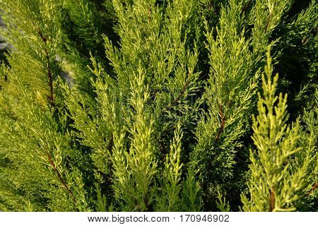 Thuja texture. Green thuja tree branches and leaves as natural background.