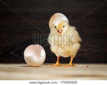 Newborn chick. The shell of the egg. Funny and cute chick