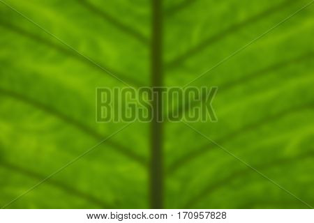 Colocasia esculenta var leaves blurred nature background.