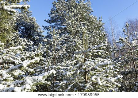 white pine branch covered with snow after a snowfall. Photo winter