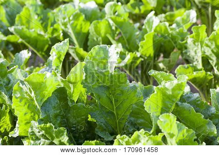 young green leaves beetroot tops during the summer. Photographed close-up of an agricultural field plants