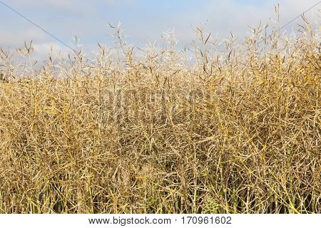 Agricultural field on which grow ripening canola, close-up photo